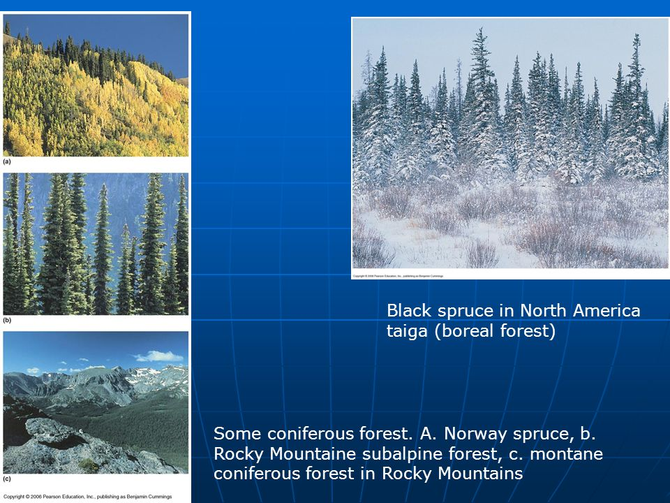 Black spruce in North America taiga (boreal forest)