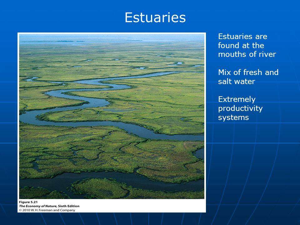 Estuaries Estuaries are found at the mouths of river