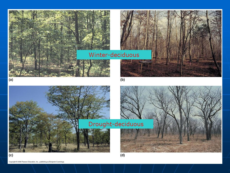 Winter-deciduous Figure 23.2 Drought-deciduous