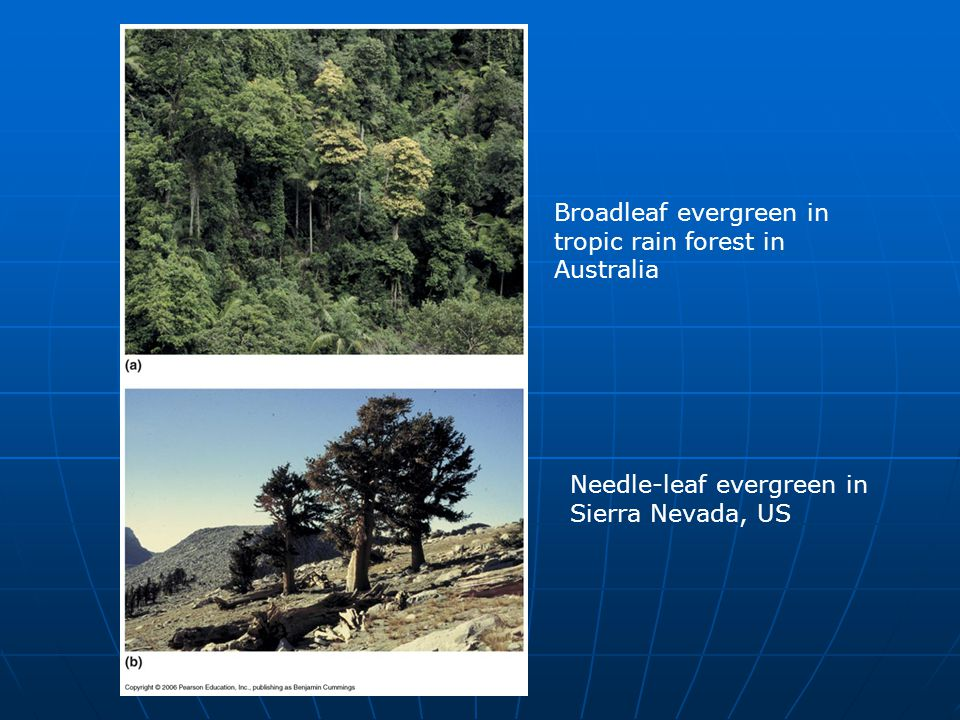 Broadleaf evergreen in tropic rain forest in Australia