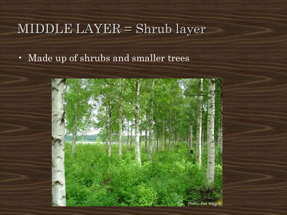 MIDDLE LAYER = Shrub layer