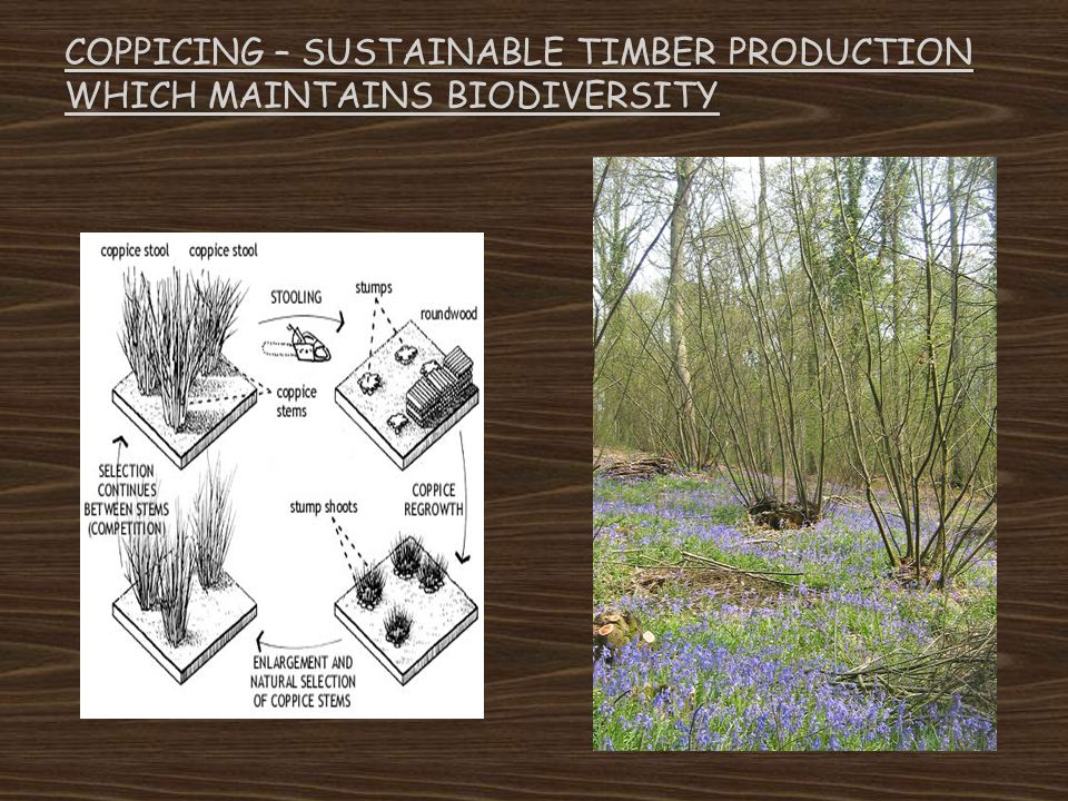 Coppicing – sustainable timber production which maintains biodiversity