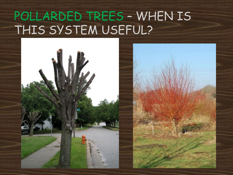 Pollarded Trees – when is this system useful