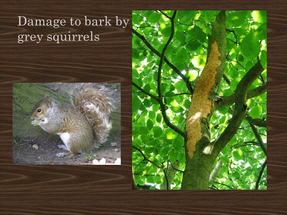 Damage to bark by grey squirrels