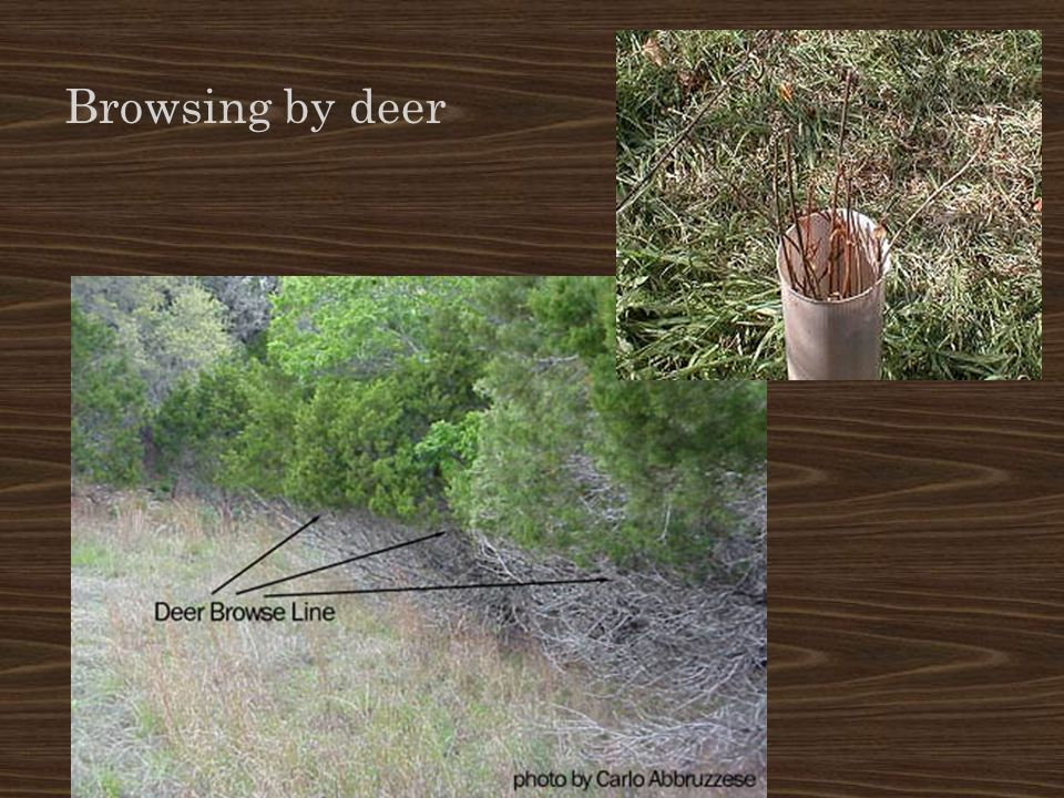 Browsing by deer