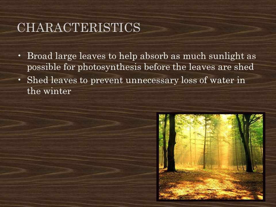 Characteristics Broad large leaves to help absorb as much sunlight as possible for photosynthesis before the leaves are shed.
