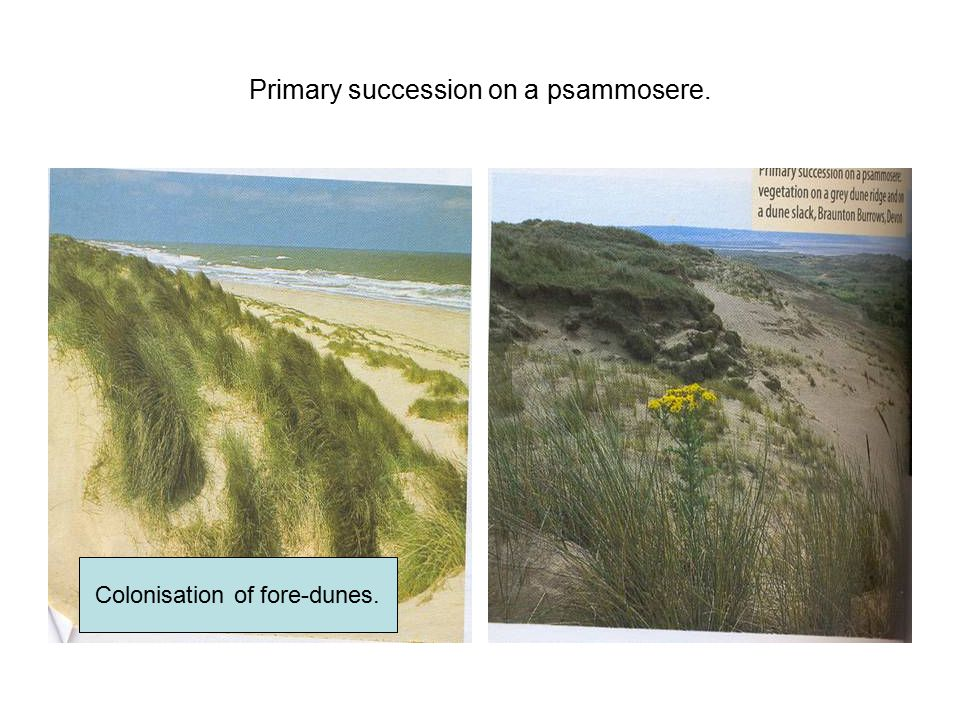 Primary succession on a psammosere.