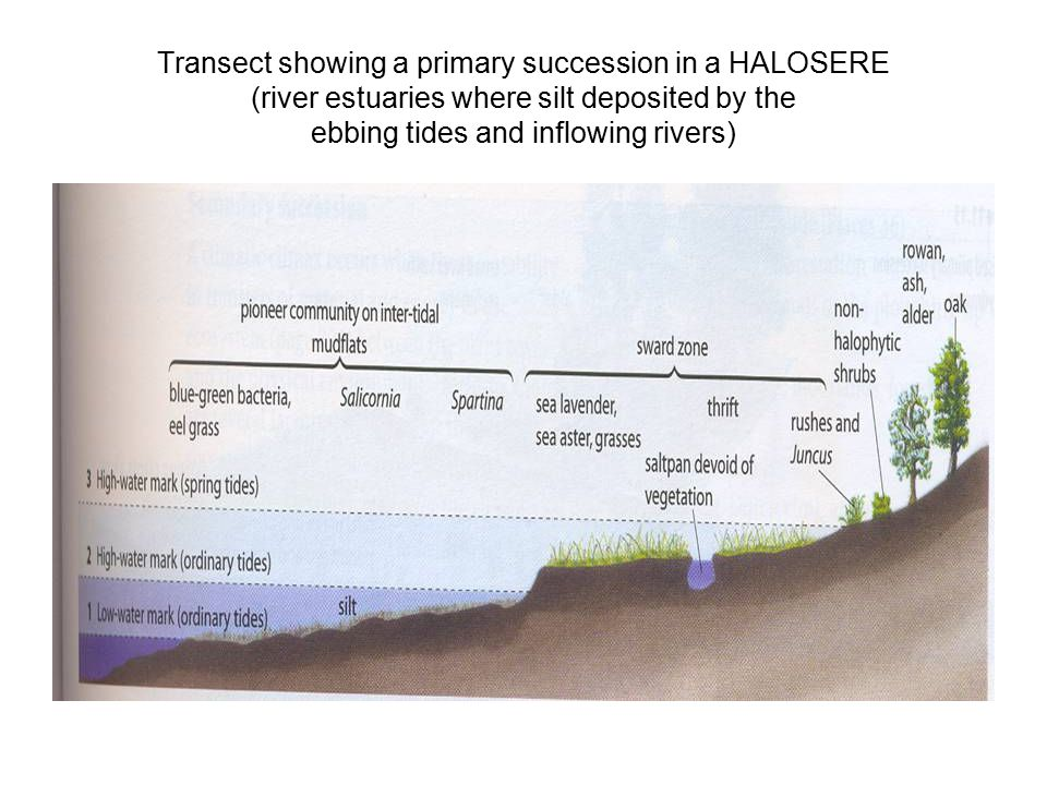 Transect showing a primary succession in a HALOSERE (river estuaries where silt deposited by the ebbing tides and inflowing rivers)