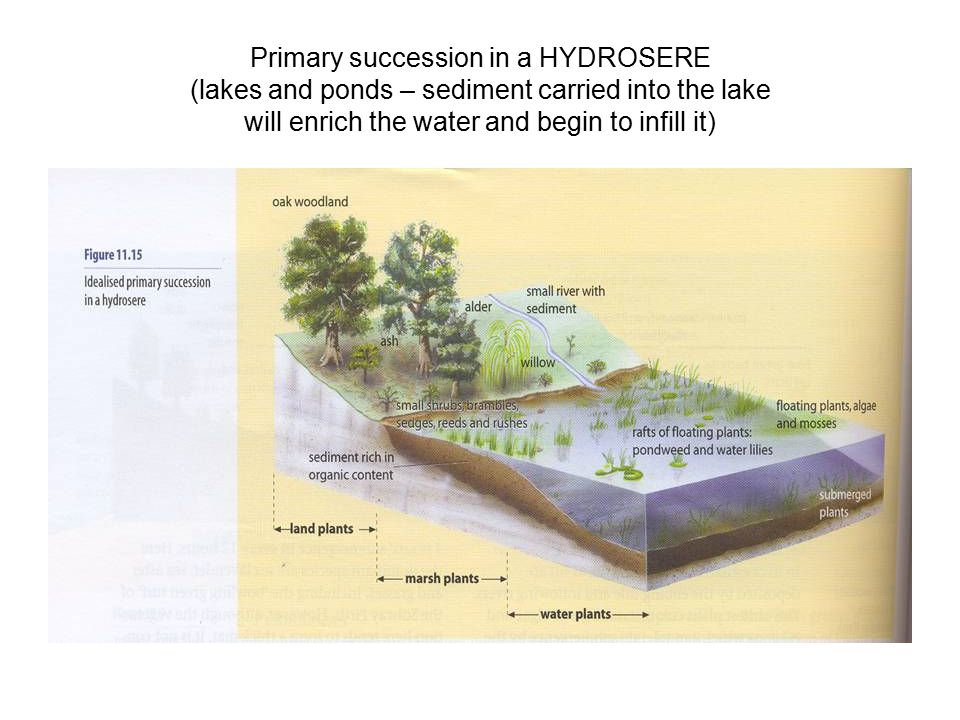 Primary succession in a HYDROSERE (lakes and ponds – sediment carried into the lake will enrich the water and begin to infill it)