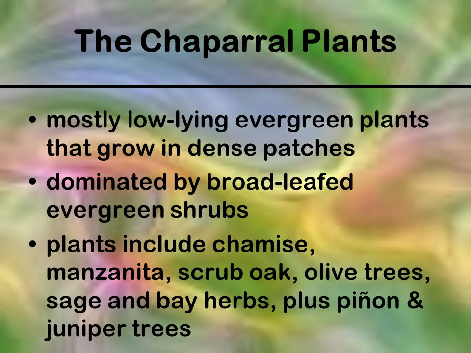 The Chaparral Plants mostly low-lying evergreen plants that grow in dense patches. dominated by broad-leafed evergreen shrubs.