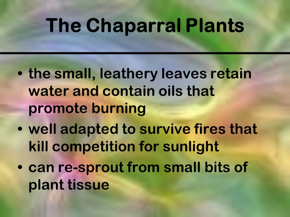 The Chaparral Plants the small, leathery leaves retain water and contain oils that promote burning.