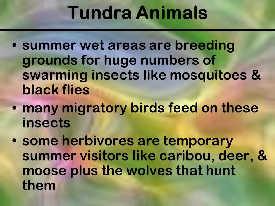 Tundra Animals summer wet areas are breeding grounds for huge numbers of swarming insects like mosquitoes & black flies.