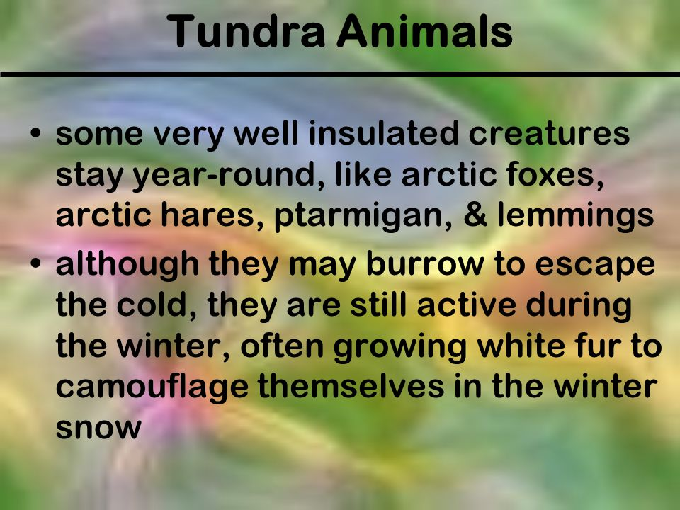 Tundra Animals some very well insulated creatures stay year-round, like arctic foxes, arctic hares, ptarmigan, & lemmings.