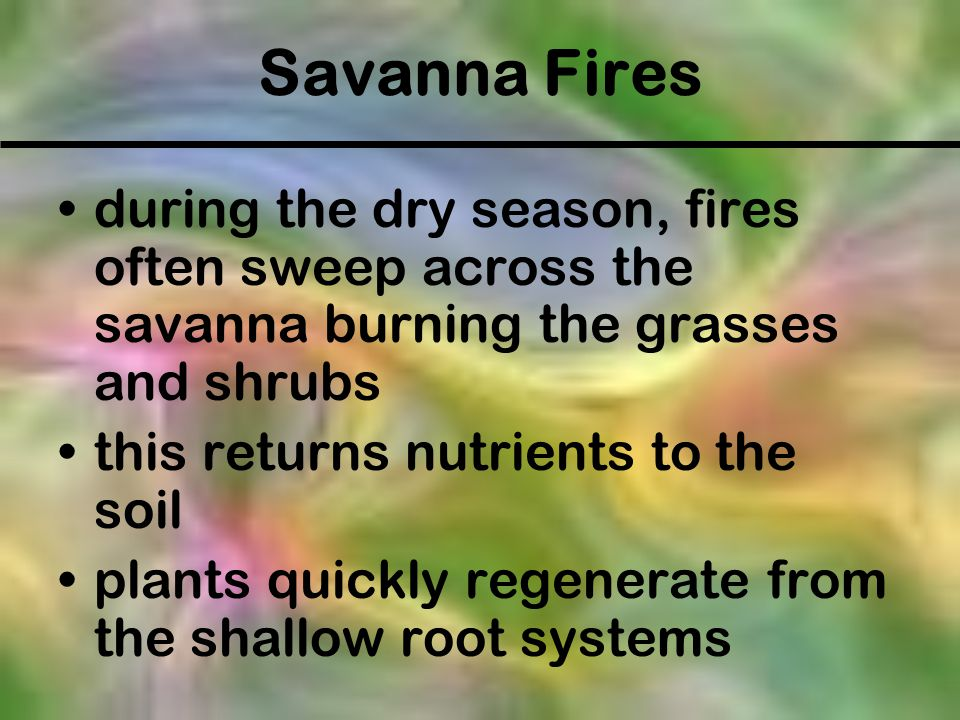 Savanna Fires during the dry season, fires often sweep across the savanna burning the grasses and shrubs.