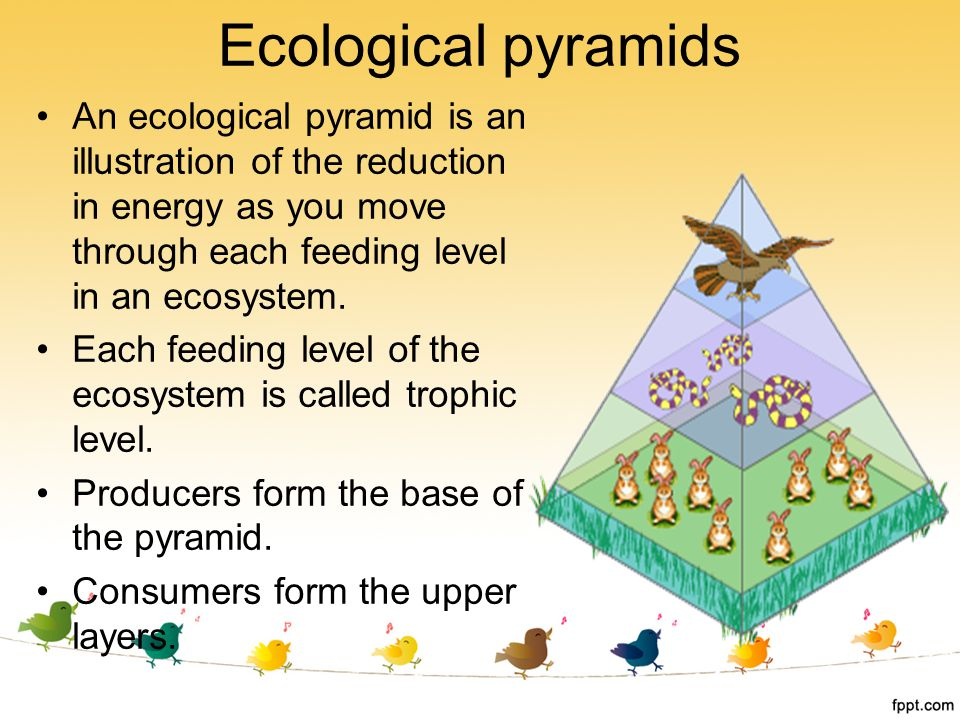 Ecological pyramids An ecological pyramid is an illustration of the reduction in energy as you move through each feeding level in an ecosystem.