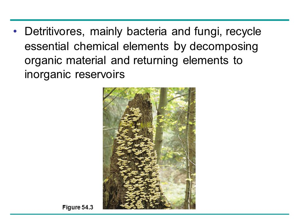 Detritivores, mainly bacteria and fungi, recycle essential chemical elements by decomposing organic material and returning elements to inorganic reservoirs