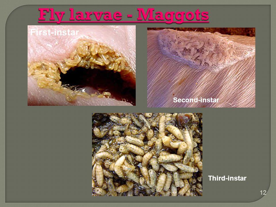 Fly larvae - Maggots First-instar Second-instar Third-instar