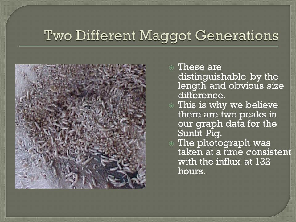 Two Different Maggot Generations
