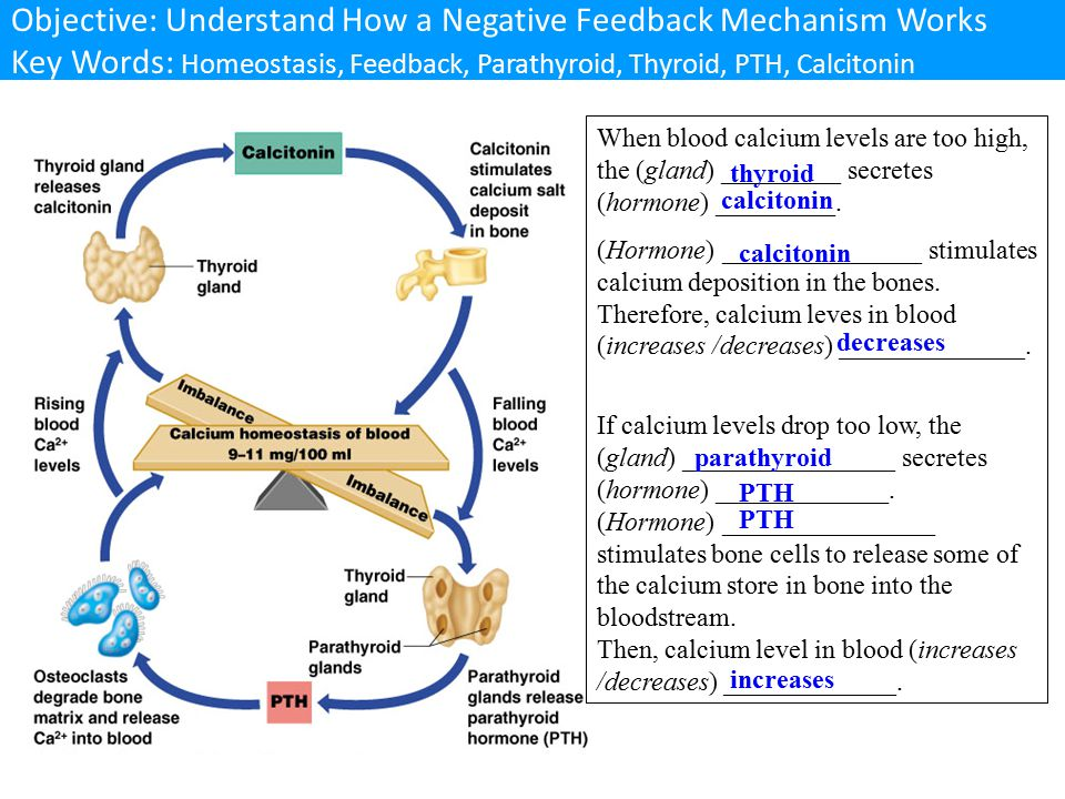 Objective: Understand How a Negative Feedback Mechanism Works Key Words: Homeostasis, Feedback, Parathyroid, Thyroid, PTH, Calcitonin
