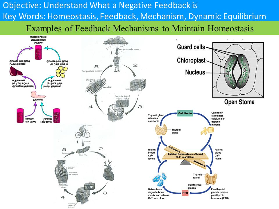 Examples of Feedback Mechanisms to Maintain Homeostasis