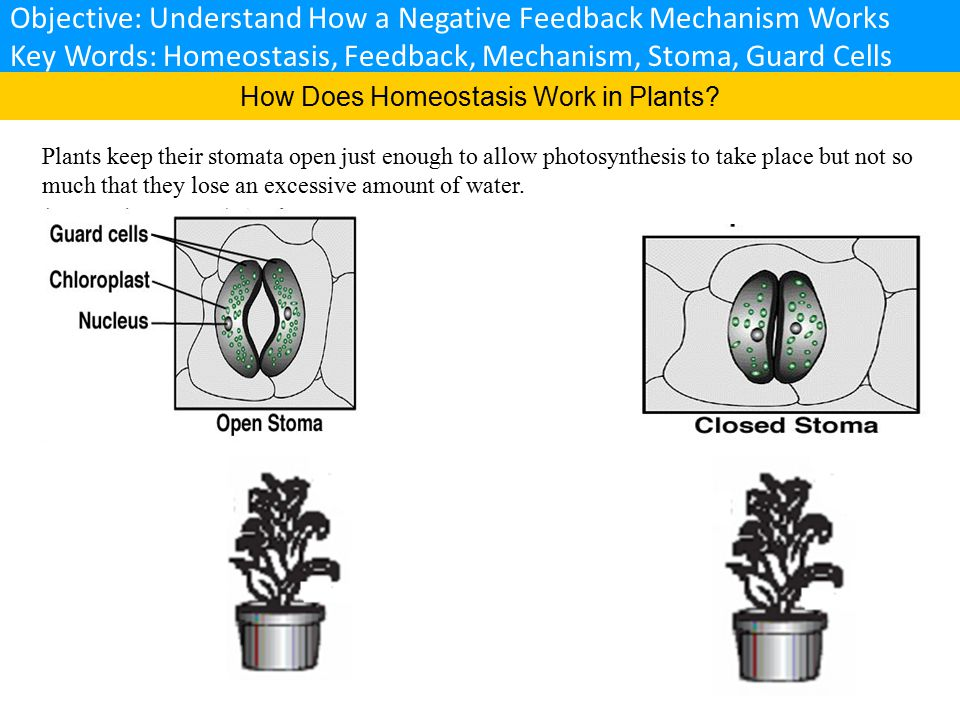 How Does Homeostasis Work in Plants