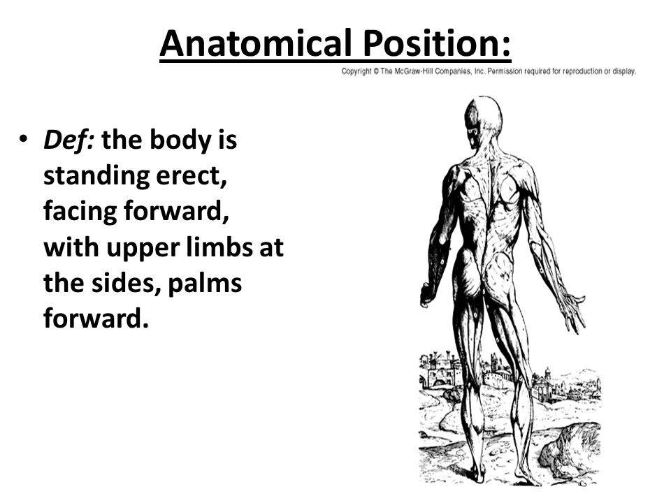 Anatomical Position: Def: the body is standing erect, facing forward, with upper limbs at the sides, palms forward.