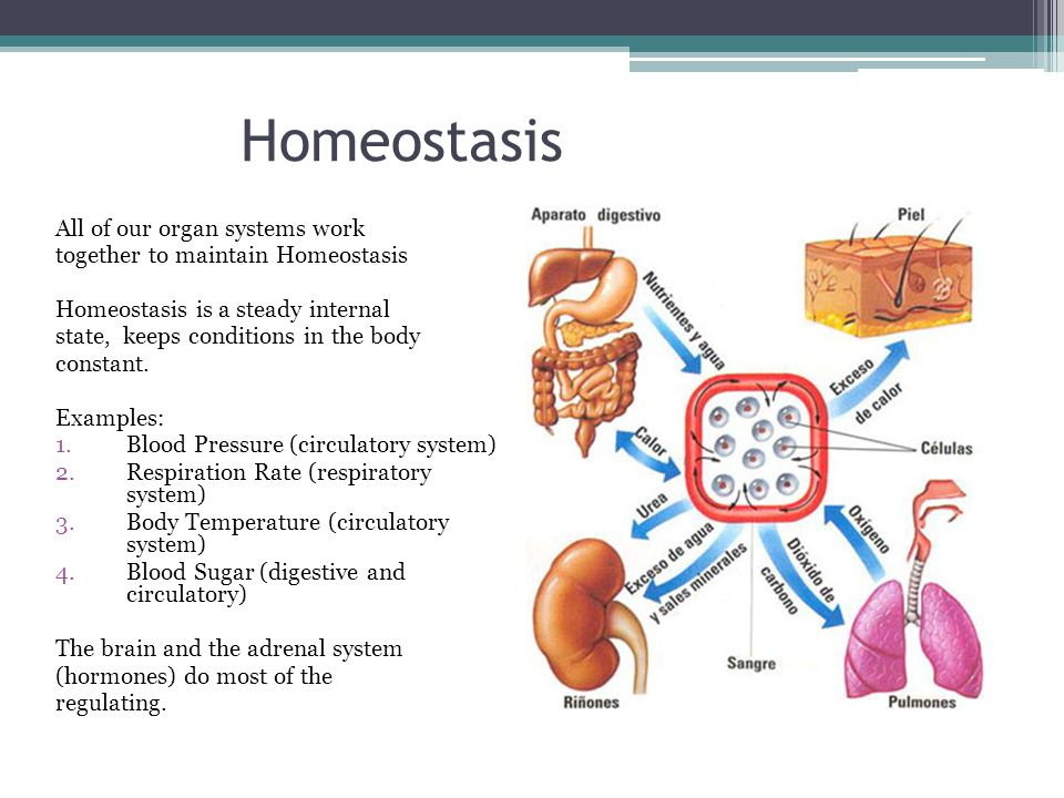 Homeostasis All of our organ systems work