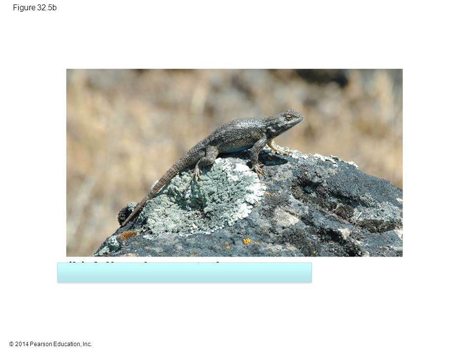 (b) A lizard, an ectotherm