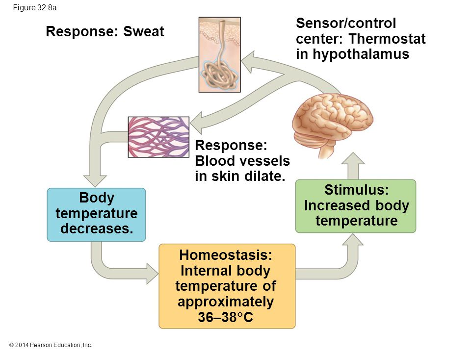 Sensor/control center: Thermostat in hypothalamus Response: Sweat