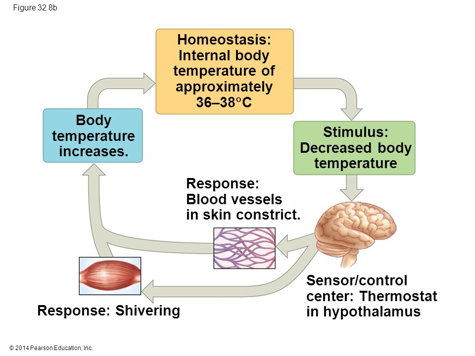 Sensor/control center: Thermostat in hypothalamus Response: Shivering