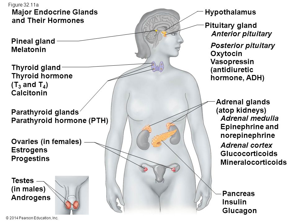 Major Endocrine Glands and Their Hormones Hypothalamus