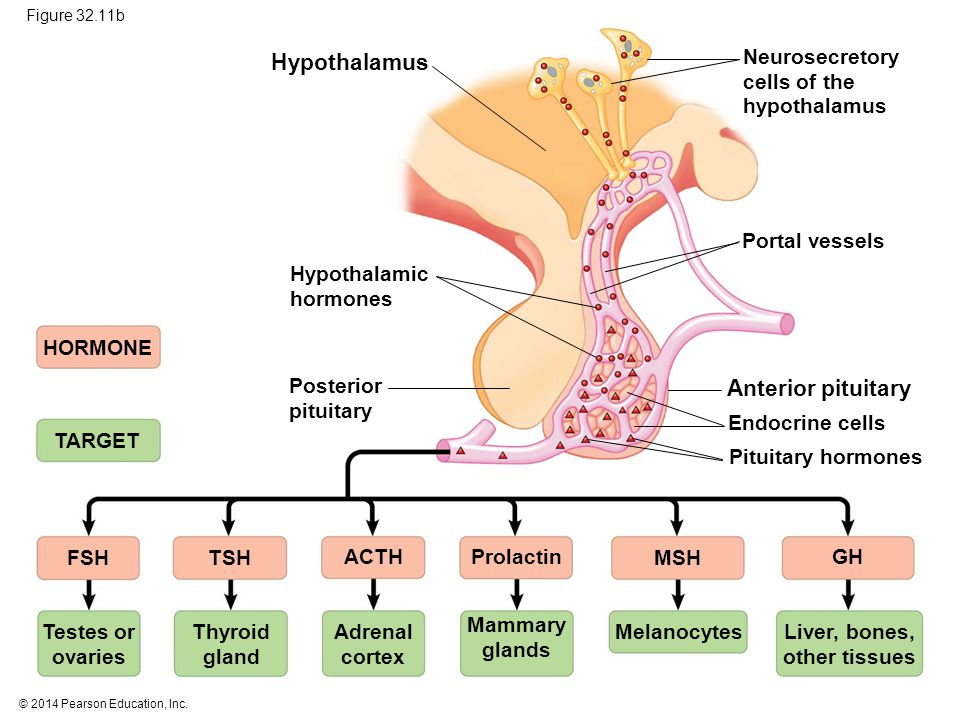 Hypothalamus Anterior pituitary Neurosecretory cells of the