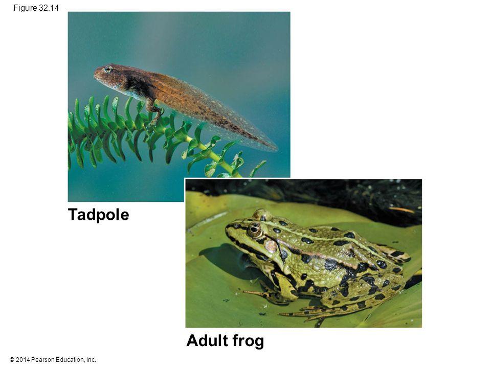 Tadpole Adult frog Figure 32.14