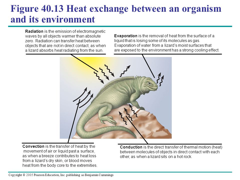 Figure 40.13 Heat exchange between an organism and its environment
