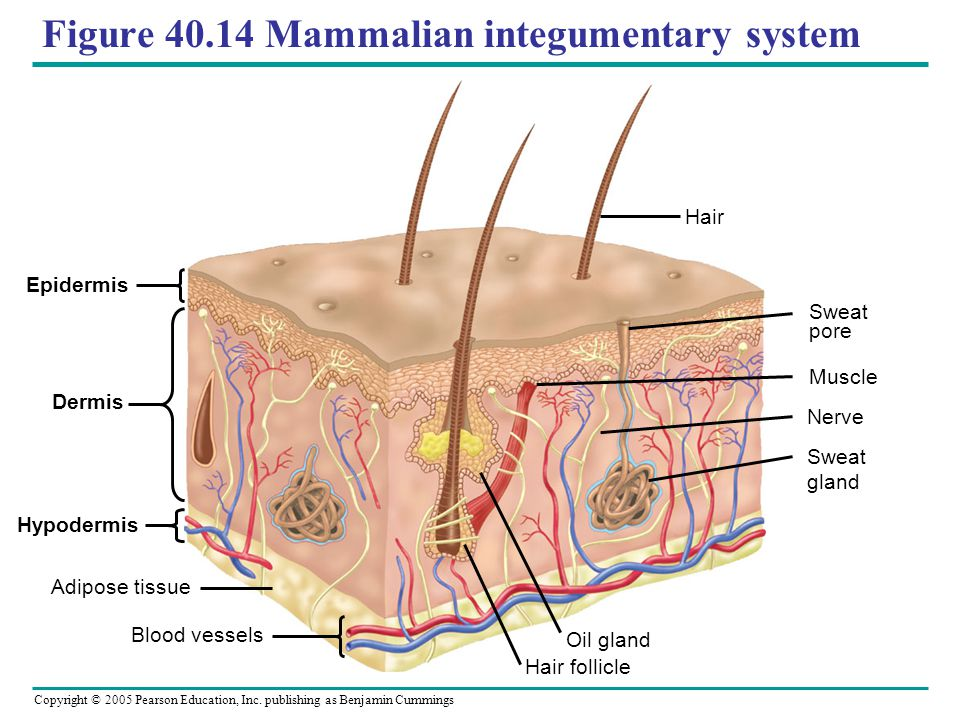 Figure 40.14 Mammalian integumentary system