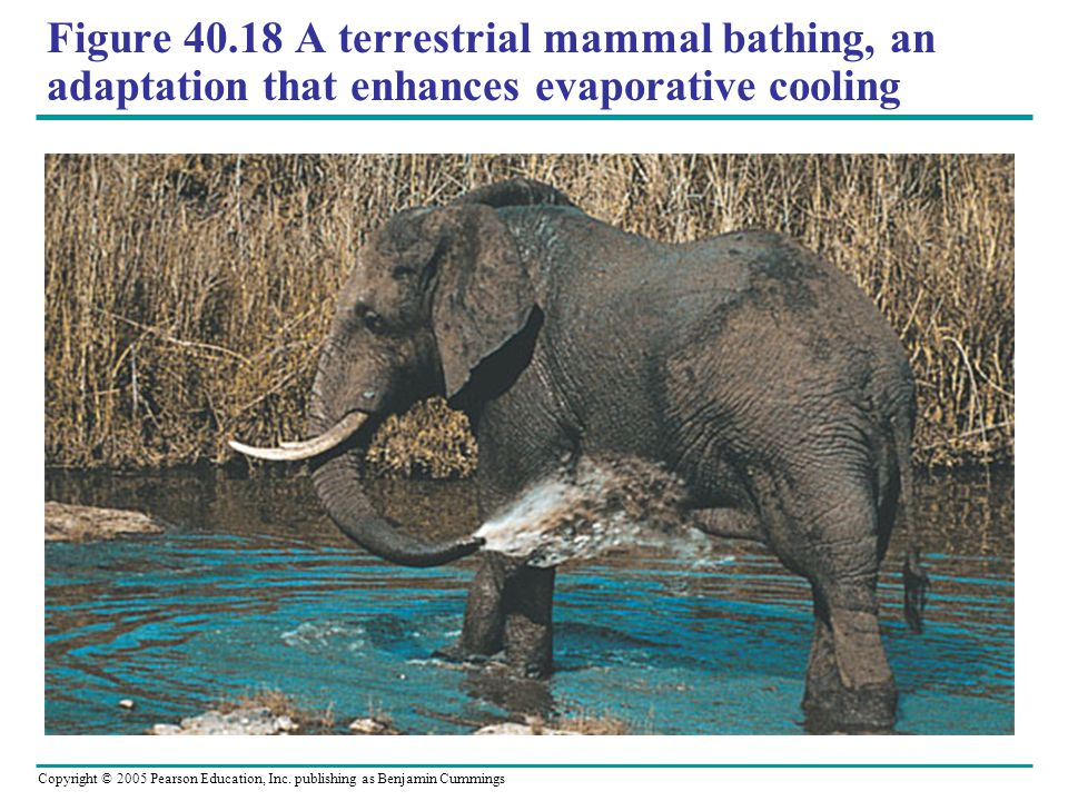 Figure 40.18 A terrestrial mammal bathing, an adaptation that enhances evaporative cooling