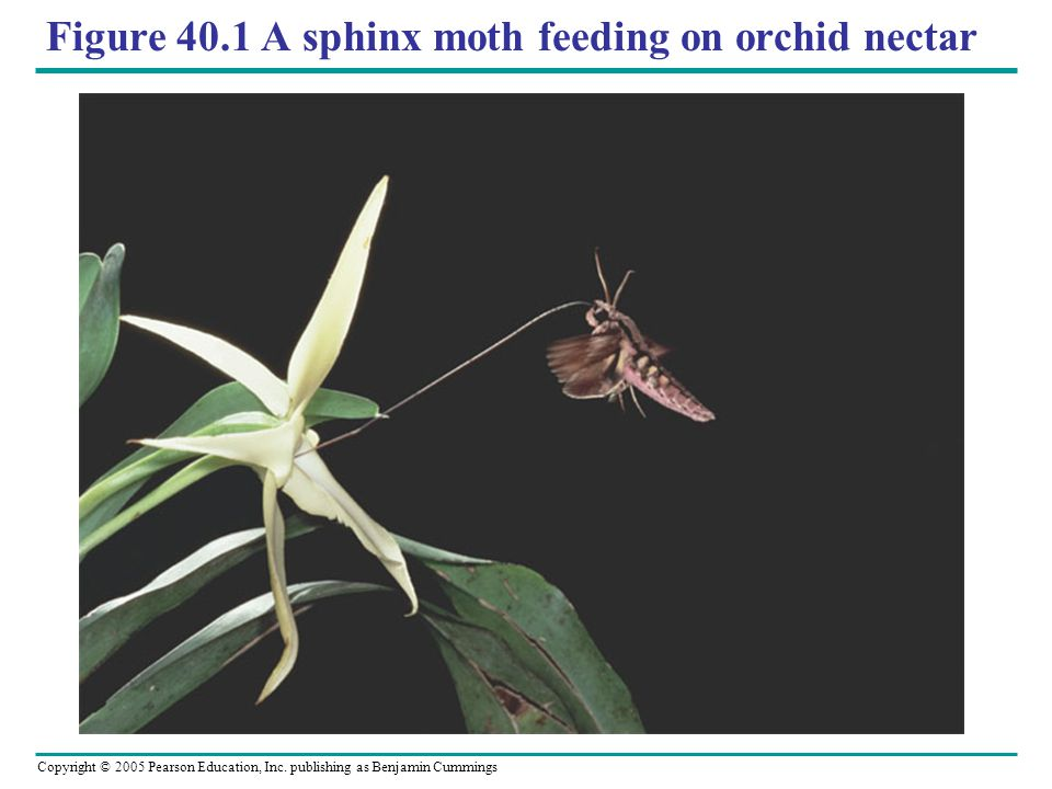 Figure 40.1 A sphinx moth feeding on orchid nectar