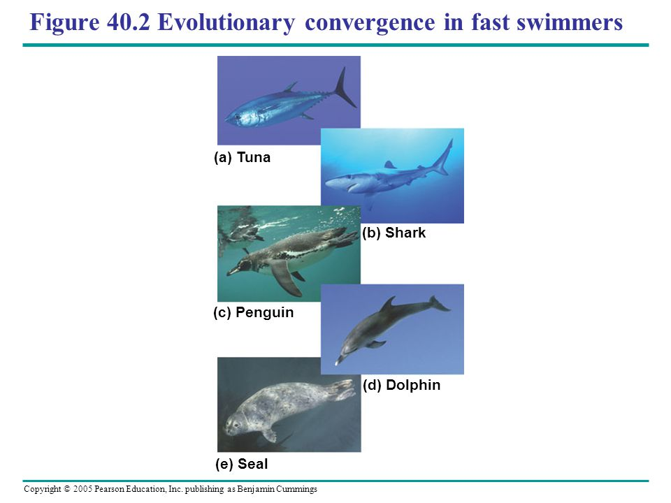 Figure 40.2 Evolutionary convergence in fast swimmers