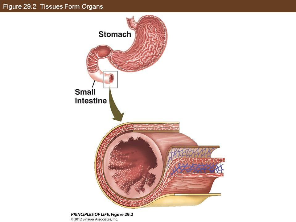 Figure 29.2 Tissues Form Organs