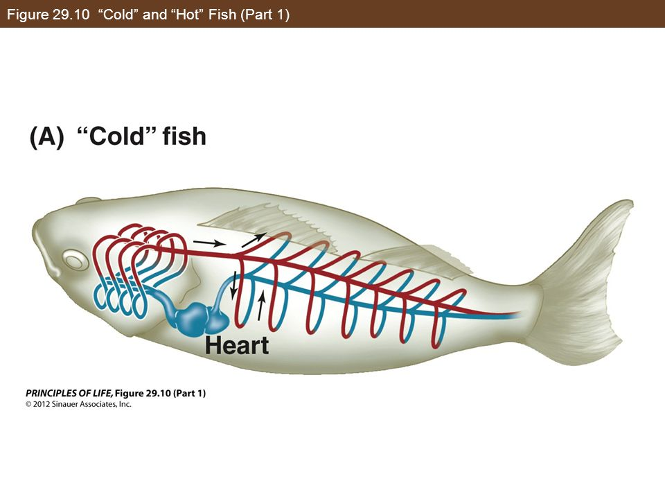 Figure 29.10 Cold and Hot Fish (Part 1)