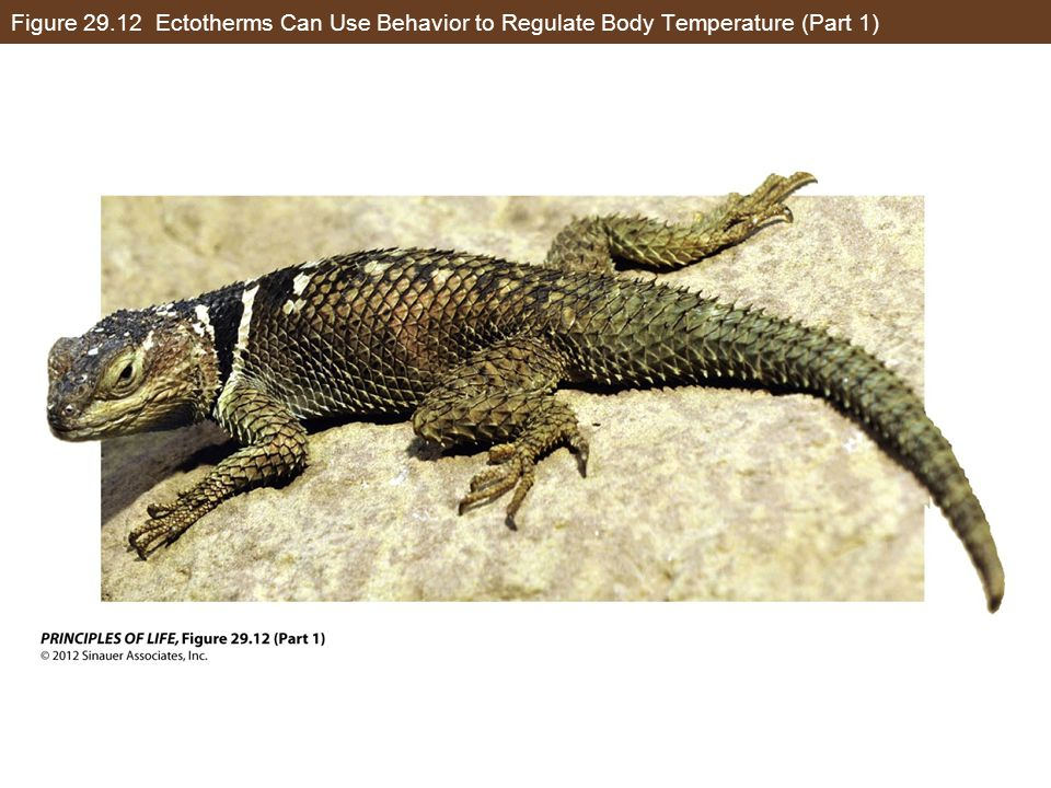 Figure 29.12 Ectotherms Can Use Behavior to Regulate Body Temperature (Part 1)