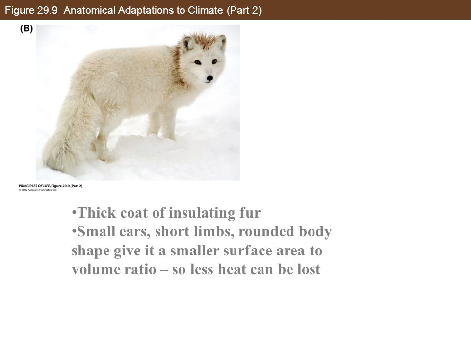 Figure 29.9 Anatomical Adaptations to Climate (Part 2)