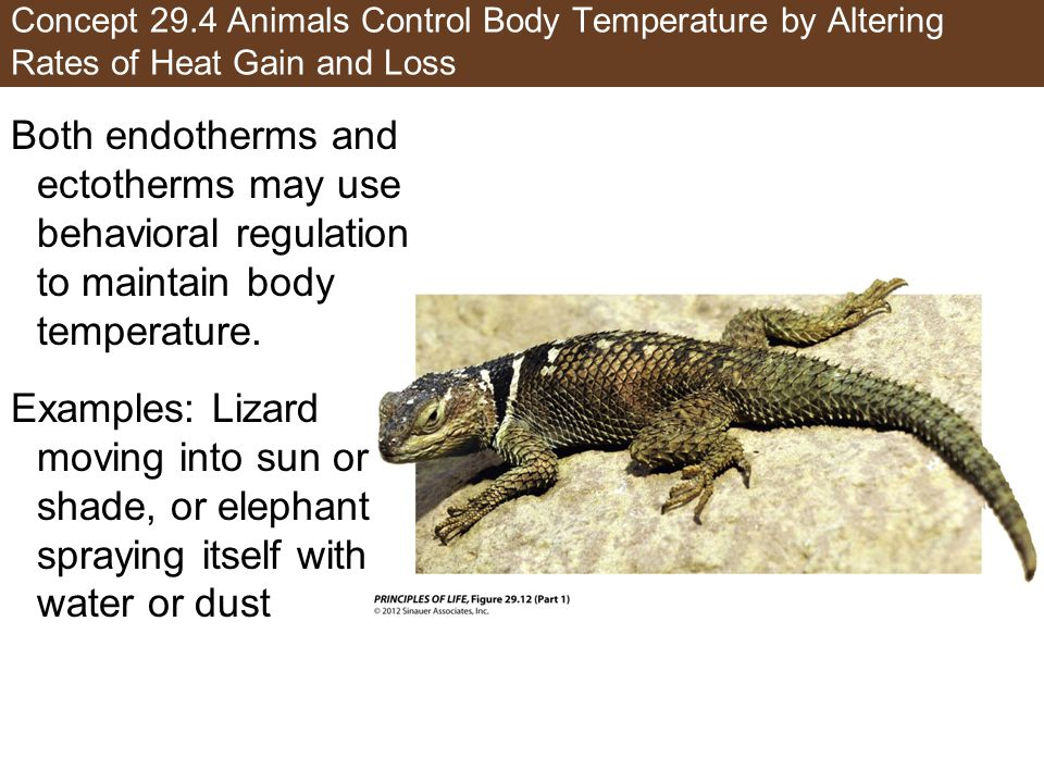 Concept 29.4 Animals Control Body Temperature by Altering Rates of Heat Gain and Loss