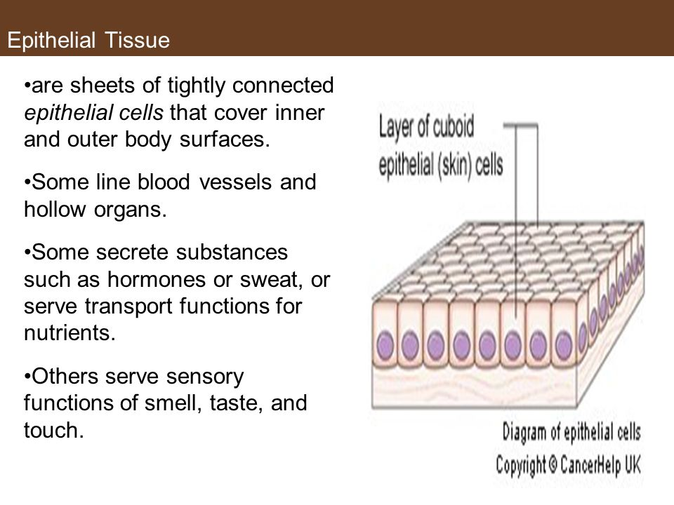 Epithelial Tissue are sheets of tightly connected epithelial cells that cover inner and outer body surfaces.