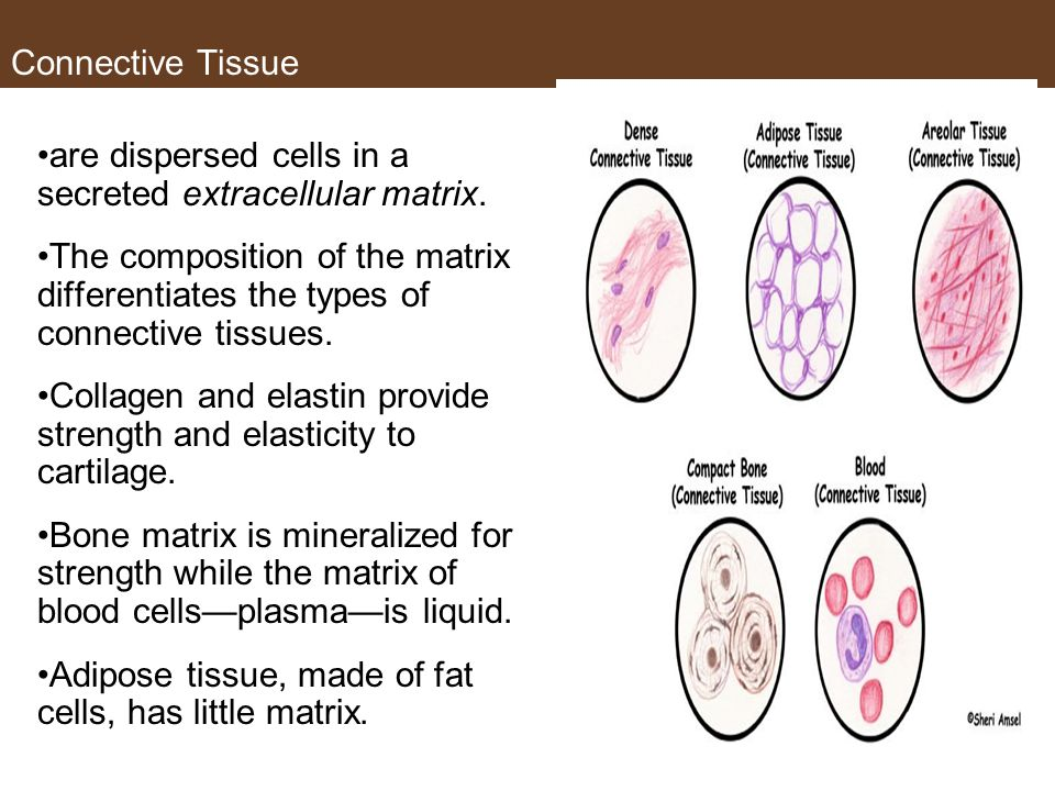 Connective Tissue are dispersed cells in a secreted extracellular matrix.
