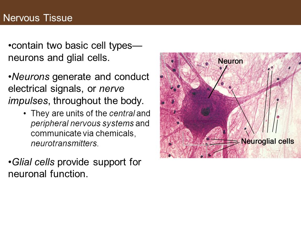 contain two basic cell types— neurons and glial cells.