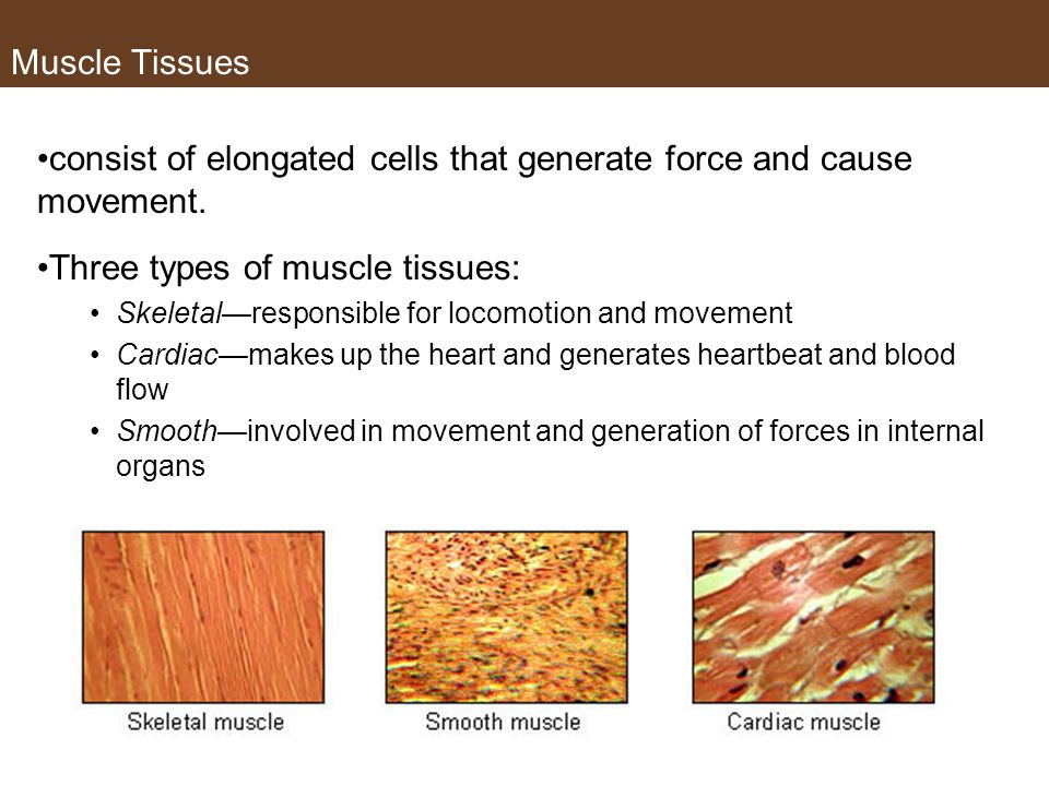 consist of elongated cells that generate force and cause movement.