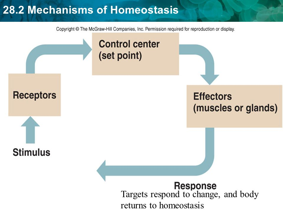 Targets respond to change, and body returns to homeostasis