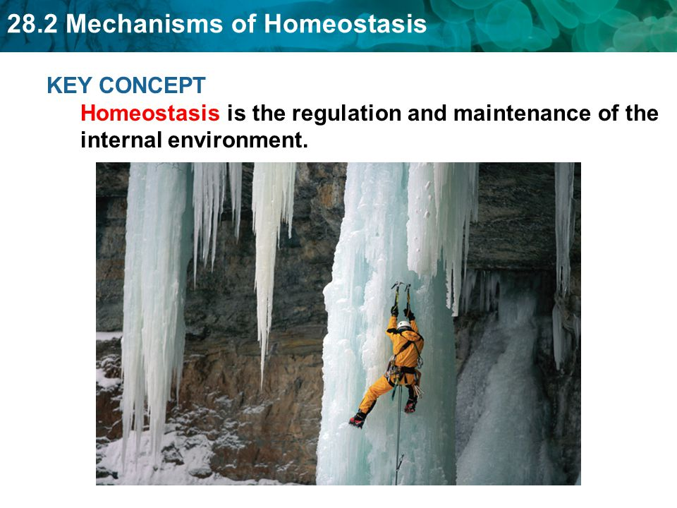 KEY CONCEPT Homeostasis is the regulation and maintenance of the internal environment.