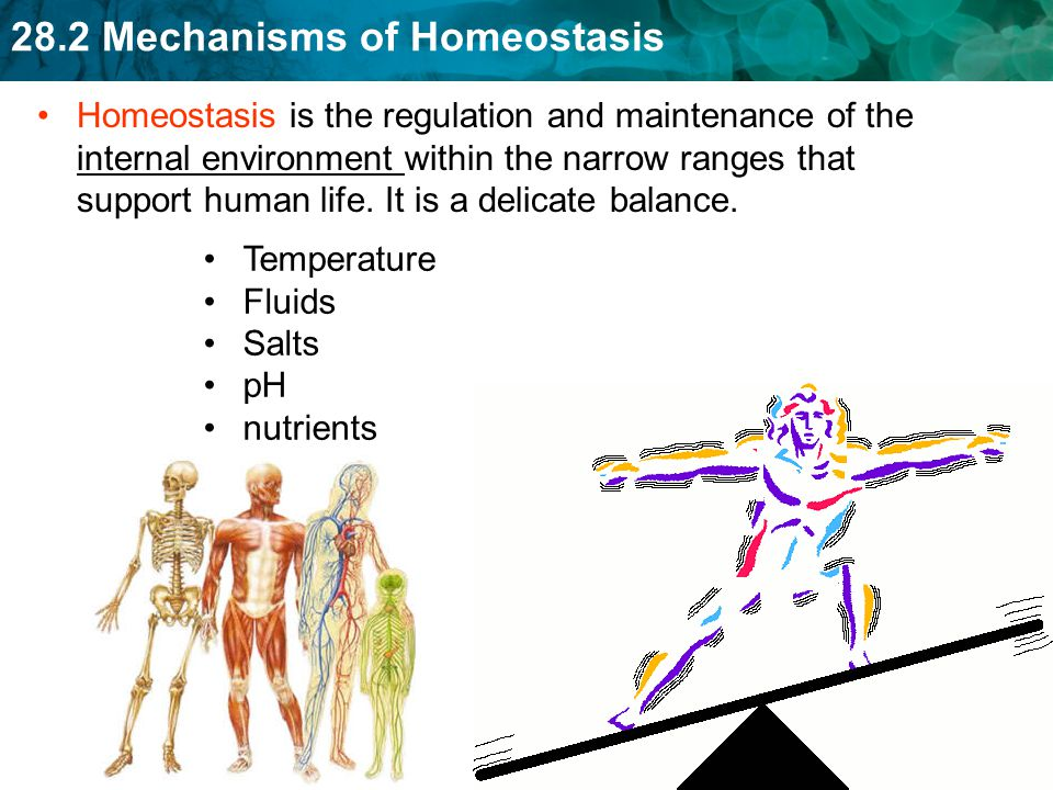 Homeostasis is the regulation and maintenance of the internal environment within the narrow ranges that support human life. It is a delicate balance.